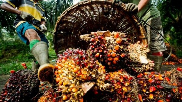 $500million spent on importation of palm oil annually