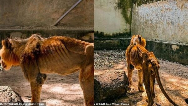 Kaduna zoo bars journalists from entering the facility after photos of a starving lion went viral