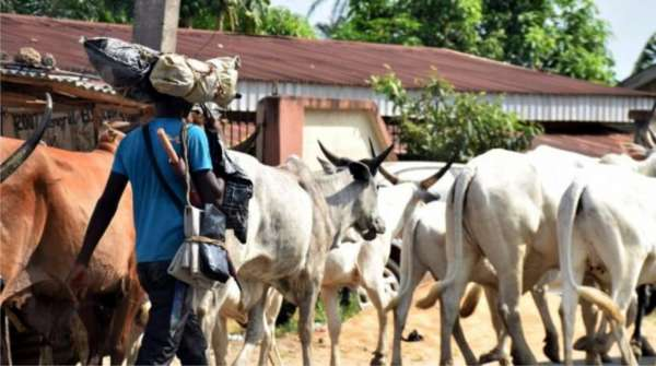 Again Amotekun arrests another 300 cows for flouting grazing laws