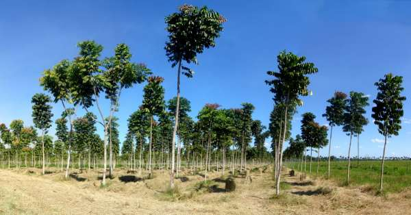 Well help FG to plant 25 million trees NIEE