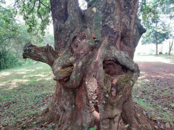 Photo of holy tree which has visible female and male sexual organs and reportedly mends marriages