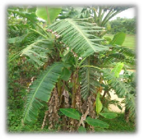 FG set to produce paper with banana trees
